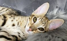 beautiful face on this F2 Savannah kitten and we love her tall ears! Serval Kittens For Sale, Kitten For Sale, Savannah Kittens For Sale, Savannah Chat, Las Vegas, Ears, Exotic, Animals, Beautiful