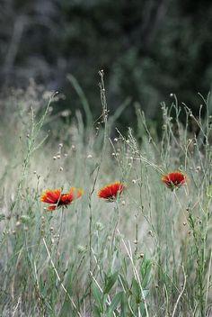 """Wildflowers"" Photograph by Stephanie Thomson flowers / rocky mountain wildflower / wyoming / nature"