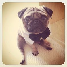Mr. Pug is all dressed up and ready to go