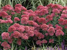 "Sedum Autumn Joy    Trouble free sun perennial with 4 seasons of interest  Giant blooms loved by butterflies  Drought Proof & Deer Proof  Long lasting blooms can be cut or dried    Zone 3,4,5,6,7,8,9 Blooms Late Summer-Fall  24"" X 18""    As LOW as $6.95 each!"