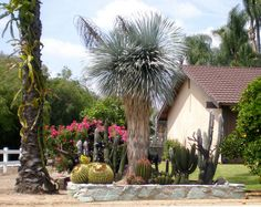 Cactus Garden, via Flickr. The center piece is Yucca rostrata, the Beaked yucca.  Since they only grow about 6 inches to 1 foot of trunk per year, this one is probably at least 30 years old.  Native to West Texas and adjacent Mexico.