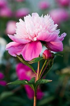 Peony 'duchess of Kent', by Clive Nicols