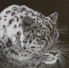 Julie rhodes, wildlife artist, pencil drawings of wildlife, animal drawings, wildlife prints, wildlife originals, original wildlife art, wildife pictures, drawing, Marwell, NEWA, born free,