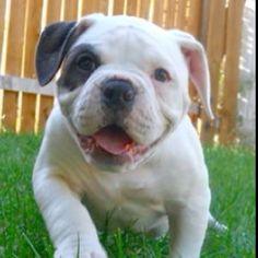Titan as a puppy :) (American Bulldog)