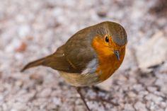 Robin by MartinAndrewEagle #animals #animal #pet #pets #animales #animallovers #photooftheday #amazing #picoftheday