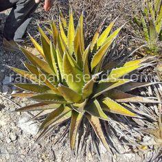 Agave triangularis - comprar semillas en rarepalmseeds.com