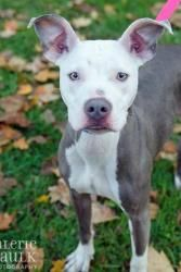 Lydia is an adoptable Pit Bull Terrier Dog in Powell, OH. Lydia is one sweet cuddle bug! This social butterfly loves to be a part of the action, and this sweet girl gets along great with everyone. Lyd...