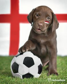 Brax (Chocolate Labrador) - It's every puppy's dream to make the England team. | Dog | Puppies | Dogs | Pet Photography | Labrador Retriever | Puppy | Photo Session Ideas | Lab | Sports | Soccer