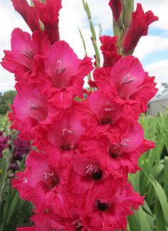 Gladiolus 'Bugle Bonnie'
