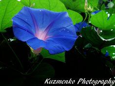 morning glory flower | Morning Glory Flower by Alzipalz