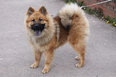 Eurasier- it's so fluffy I'm gonna diiiie!
