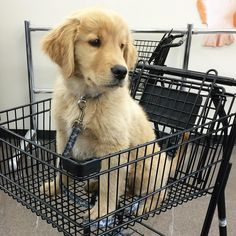 """7,654 Likes, 73 Comments - Rufio the Golden Retriever 🐾 (@livingthatgoldenlife) on Instagram: """"VIP-style at the pet store #tbt"""""""