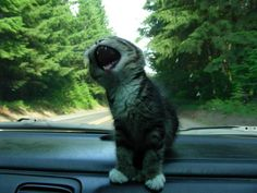 My friend cat was singing in the car today
