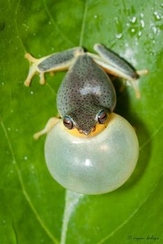 """"""" Rough-skinned Bush Frog - Raorchestes glandulosus Raorchestes glandulosus (Rhacophoridae) is a small-sized, arboreal frog (length 38 mm), endemic to the Western Ghats in India. It has the..."""