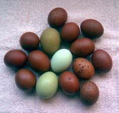 http://charmed-life-chickens.blogspot.com/2011/03/olive-eggers-for-green-eggs-and-ham.html
