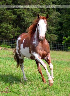 red roan tobiano paint horse 1 by venomxbaby.deviantart.com on @deviantART