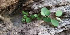 Capers grow up in the rocks