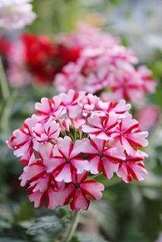 Lovely Star Flowers