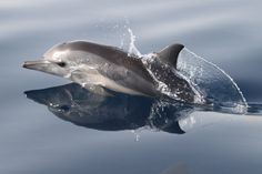 Newborn Dolphin from the Red Sea Dolphin Study project
