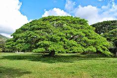 """Google+Samanea saman"""" Valle del Cauca (Colombia) .. Árbol de la lluvia, campano, cenízaro, cenícero, samán, tamarindo, es una especie botánica de árbol de hasta 20 m, con un dosel alto y ancho, de grandes y simétricas coronas. Pertenece a la familia de las Fabaceae (órden Fabales ). Su etimología Samanea, es de su nombre nativo sudamericano saman, uno de los árboles emblemáticos de Venezuela."""