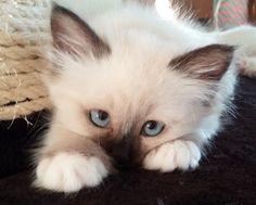 """It's that irresistible kitten """"look"""" Pinned by ZenSocialKarma"""