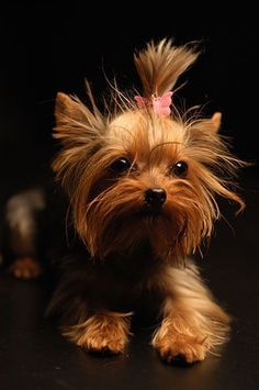 I want a Yorkshire Terrier so much. Can't resist the cute! #yorkshireterrier