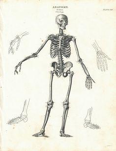 Human Skeleton Osteology Antique Anatomy Print 1834