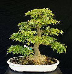 Bonsai Tree Specimen Imported from Japan Trident Maple TMSTQ325-509