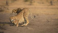 Ever alert and aware of her surroundings, a female cheetah gazes over her shoulder before settling for a drink.