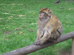 A thoughtful monkey, pic taken by myself at Trentham Monkey park near my home.