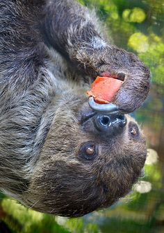 Captain hook    A two-toed sloth enjoys some upside down cake