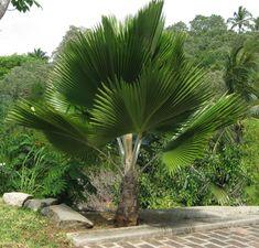 Fiji Fan Palm Tree - Google Search Palm Trees Landscaping, Florida Landscaping, Tropical Landscaping, Garden Landscaping, Palm Tree Flowers, Emerald Green Arborvitae, Backyard Plants, Backyard Ideas, Tropical Garden Design