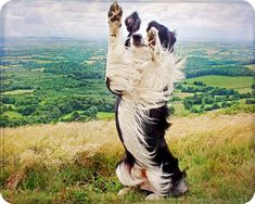 border collies are the smartest dogs.
