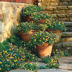"Violas  ""Repeat your plants in containers and flowerbeds. Pots of violas climb these front steps, seeming to spill out into the flowerbeds for a lush, fluid look."" SouthernLiving.com"