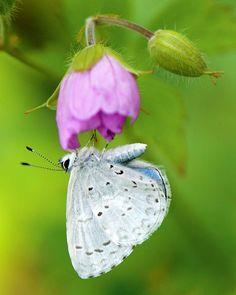 Appalachian Azure  hang on Wild Geranium! by Dave Wendelken