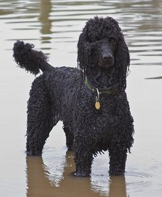 Poodle | Chris Hills | Flickr