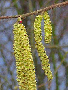 Weibliche und männliche Blüten der Haselnuß; die männlichen Kätzchen als Mehlersatz