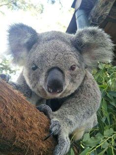 Yes,, I'm a little cutie so make that picture! Koala Bears, Baby Koala, Koala Tattoo, Australian Animals, Animal Photography, Cuddling, Paradise, Core, Tattoos