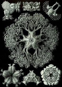 Ernst Haeckel. Ophiodea. Plaat 70 uit Kunstformen der Natur.