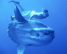 PEIXE LUA - Com grandes espécimes atingindo mais de 4 metros verticalmente e pesando mais de 2 toneladas, o peixe-lua é o peixe ósseo mais pesado conhecido no mundo. em: islandgazette.net