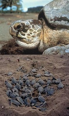 Green Sea Turtle Adventure in Costa Rica: You will work with nesting turtles weighing up to 350 pounds and measuring 3 to 4 feet in length. The presence of tagging teams on the beach also acts as a strong deterrent to poachers and egg collectors. Nightly beach patrols will also be done to measure turtles, count eggs, mark nests and count tracks.   http://www.conserveturtles.org/volunteer-research-programs.php?page=greenturtle-research-program