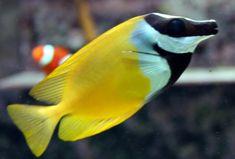 Foxface rabbitfish, my favorite fish. Marine Aquarium, Marine Fish, Reef Aquarium, Saltwater Fish Tanks, Saltwater Aquarium, Freshwater Aquarium, Underwater Creatures, Ocean Creatures, Pisces