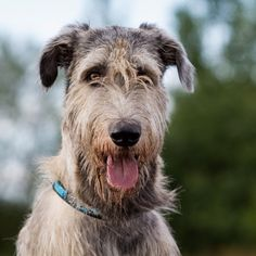 Click for Irish Wolfhound Info  #irishwolfhound
