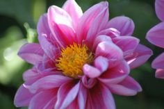 Colorful Dahlia Flower By Coralie