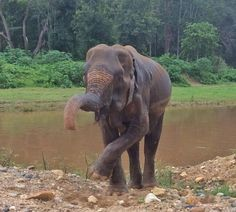 Keepers at the park now call her Grandmother (Picture: Elephant Nature Park) Elephant Gif, Elephant Nature Park, Elephant Sanctuary, Elephant Love, African Elephant, Types Of Animals, Animals And Pets, Cute Animals, Wild Animals