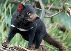 Due to the fatalities from the disease, the Tasmanian devil is listed presently listed as a vulnerable species, and could have implications on using them as surrogates for thylacine revival. Reptiles, Mammals, Felt Animals, Baby Animals, Cute Animals, Felt Animal Patterns, Tasmanian Devil, Cute Puppy Videos, Australian Animals