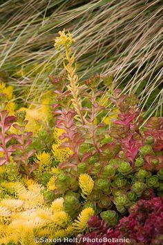 drought tolerant hardy succulent groundcover foliage tapestry of Sedum Angelina and Sedum spurium in California garden