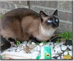 Read Sasha the Seal Point Siamese's story from Wisconsin and see her photos at Cat of the Day http://CatoftheDay.com/archive/2013/May/13.html .