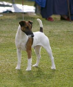 Smooth Fox Terrier I just love these dogs! Energetic and playful, mischievous and loving. Perfect companions.