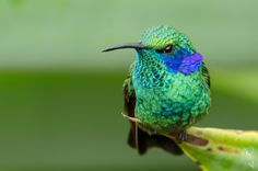 Violet-ear Hummingbird (Colibri thalassinus) by Cyn Vargas on 500px